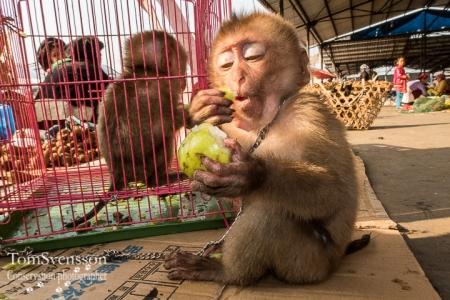 Apor i fångenskap, flera i bur, en utanför, framför en bur i förgrunden