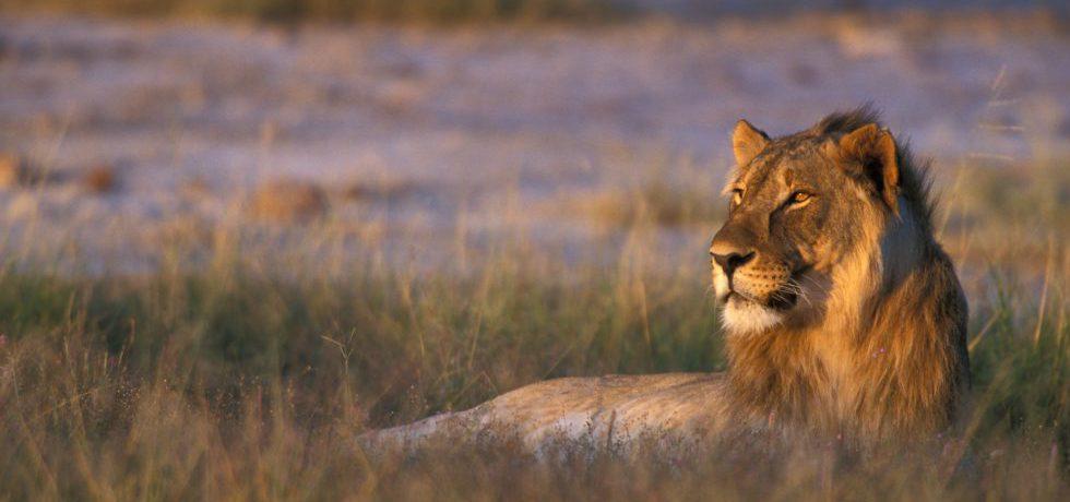 Lejon ligger ner i gräs