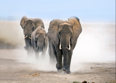 Tre elefanter sedda framifrån efter varandra på sandmark som yr av stegen